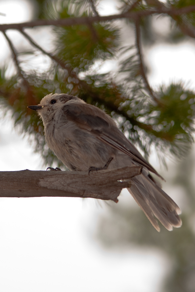 Gray Jay, near Little Divide Lake, Bridger-Teton Wilderness, WY<br /> <br /> © Kirk Sagers