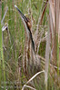 "An American Bittern (Botaurus lentiginosus) in the reeds.  These guys have the most incredible call - go here to list <a href=""http://www.allaboutbirds.org/guide/American_Bittern/sounds"">http://www.allaboutbirds.org/guide/American_Bittern/sounds</a>"