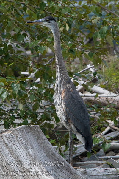 Great Blue Heron (Ardea herodias) - Duncan Lake, B.C.