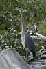 Great Blue Heron (Ardea herodias) - Duncan Lake, B.C.