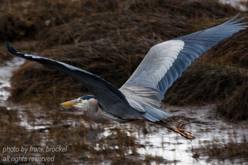 A Blue Heron (Ardea herodias) in flight in the tidal flats near Comox, B.C.