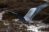 A Blue Heron (Ardea herodias) in flight in the tidal flats near Comox, B.C.