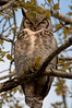The mom or dad of the 2 owl babies watching closely