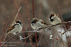 Says one sparrow to the others .... damit, it's cold !