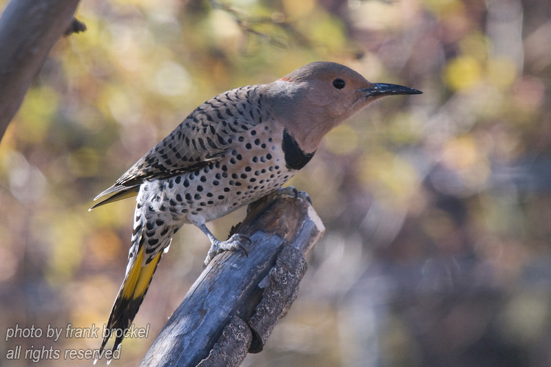 A yellow shafted flicker (a type of wood pecker)