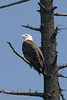 A Bald Eagle in a dead tree overlooking the lake