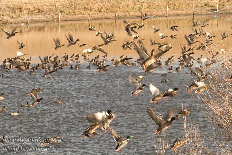 100 Ducks (maybe 101)