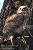 Great Horned Owl Baby