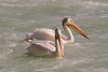 Pelicans at the weir, Calgary, Alberta