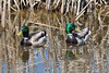 2 Mallard ducks among the cattails.