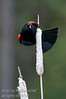 A Red-Winged Blackbird