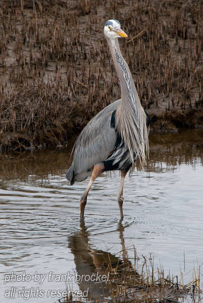 A Blue Heron (Ardea herodias) fishing for small fish and frogs in the tidal flats near Comox, B.C.
