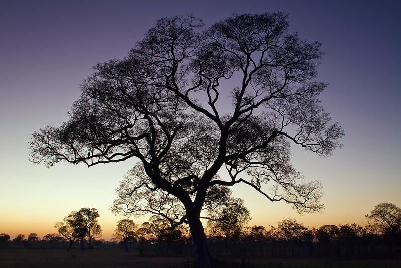 Ipe tree at dawn