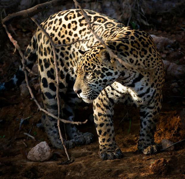 Jaguar prowling