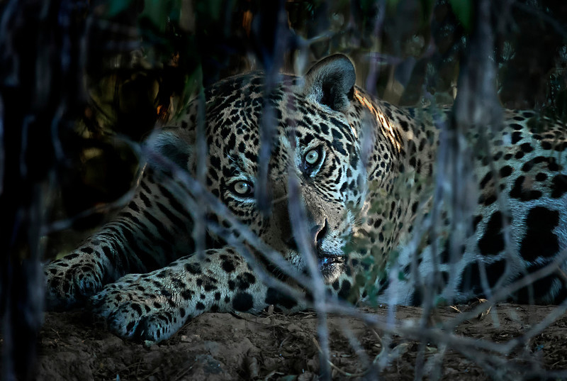 Jaguar gaze