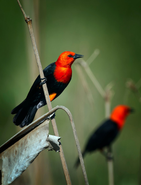 Scarlet-headed blackbird
