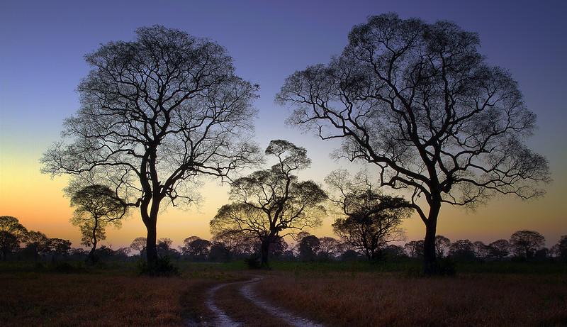 Ipe trees at sunrise