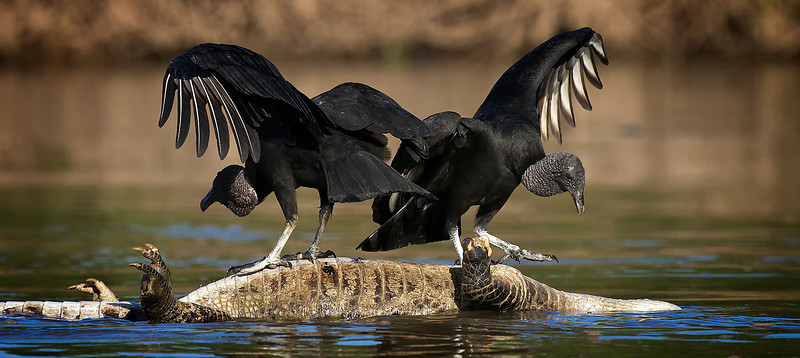 Black vultures ride caiman carcass