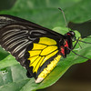 Golden Birdwing
