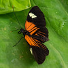 Mexican Longwing