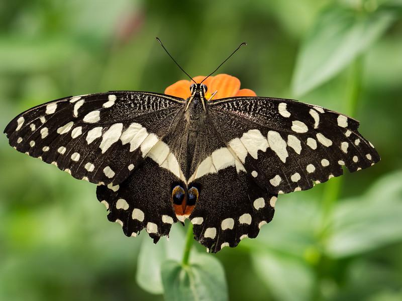Male Eastern Swallowtail