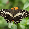 Male Eastern Swallowtail