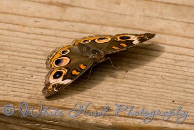 Buckeye Butterfly, Junonia coenia