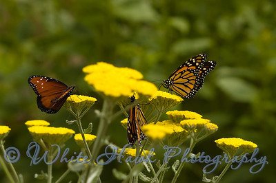 Monarch (Danaus plexippus) and Queen (Danaus gilippus) Butterflies
