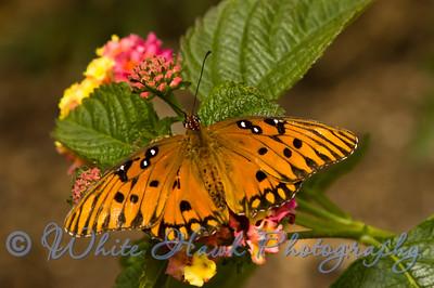 Gulf Fritillary Butterfly. Agraulis vanillae