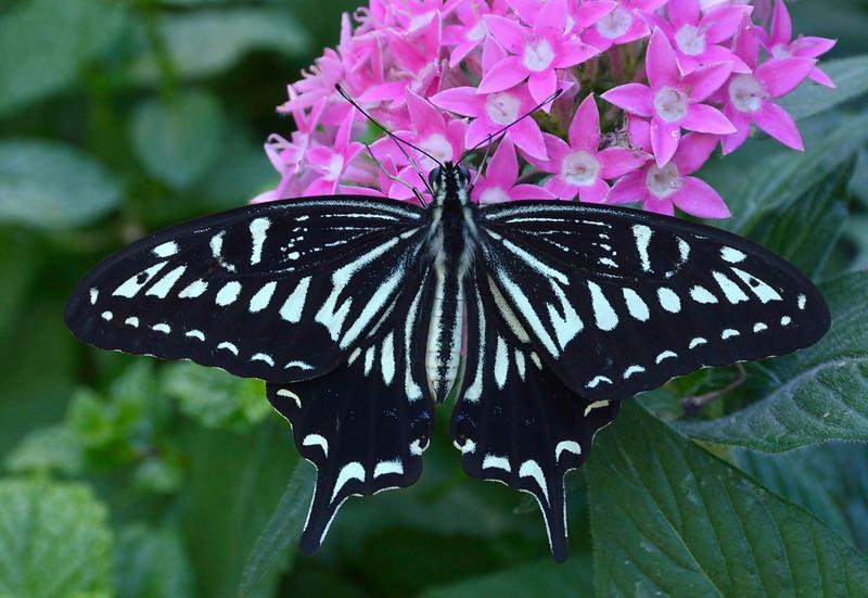 Chinese Yellow Swallowtail