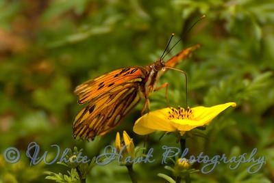 Gulf Fritillary Butterfly, Agraulis vanillae