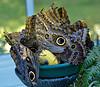 Mournful Owl