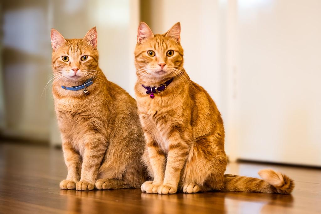 IMAGE: https://photos.smugmug.com/Nature/Wildlife/Cats/i-cSxBkCB/0/c3582405/XL/4R9A0072-Edit-XL.jpg
