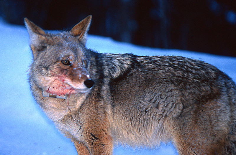 Coyote with fresh blood on its' jowls.  Yellowstone NP, WY<br /> <br /> © Kirk Sagers