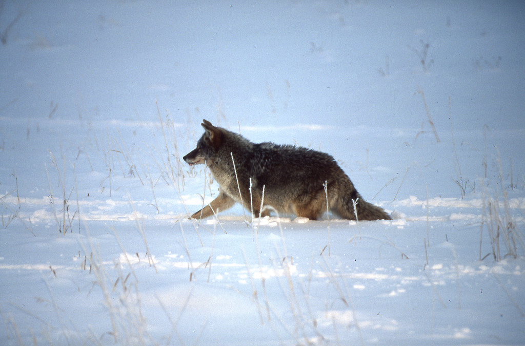 Coyote loping through the snow.  Yellowstone NP, WY<br /> <br /> © Kirk Sagers