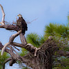 Immature Bald Eagles.  A nesting pair, close to Fort DeSoto in Florida.  About 4 years old.