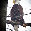 bald eagle eagle, eagle 2012 back yard 9431