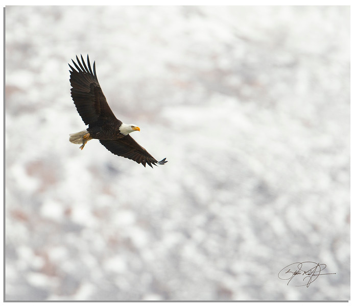 Bald Eagle in flight with fish in toe :) Uintah Mountains, Northern Utah