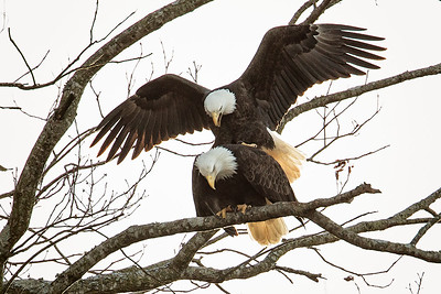 _DX_4277 Eagles Mating