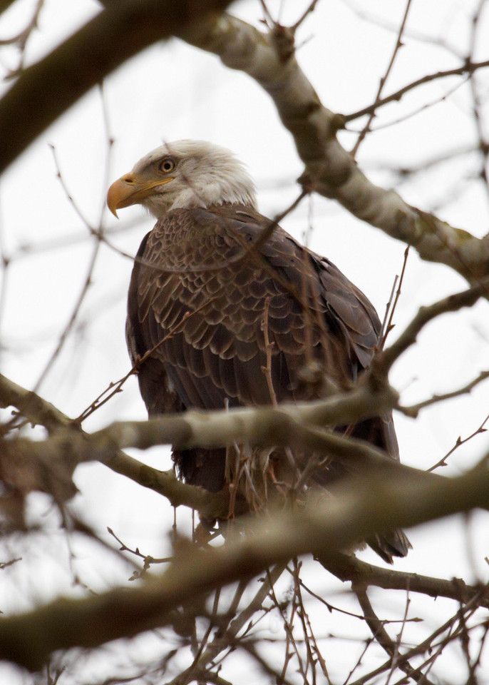 Mature Bald Eagle watching the river bank on the Tennessee River near Waterloo Alabama.