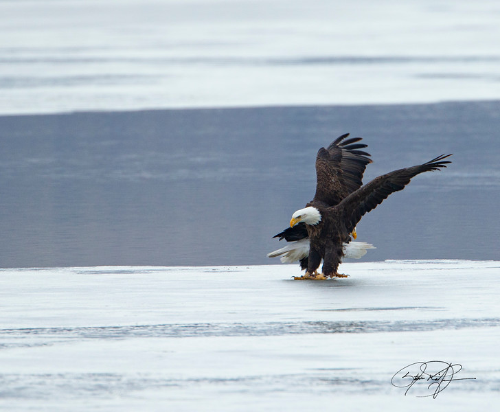 Bald Eagles near the waters edge. Farmington Bay Utah