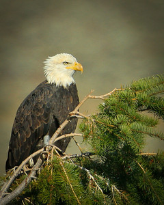 Bald Eagle / Wild -N- Wyoming