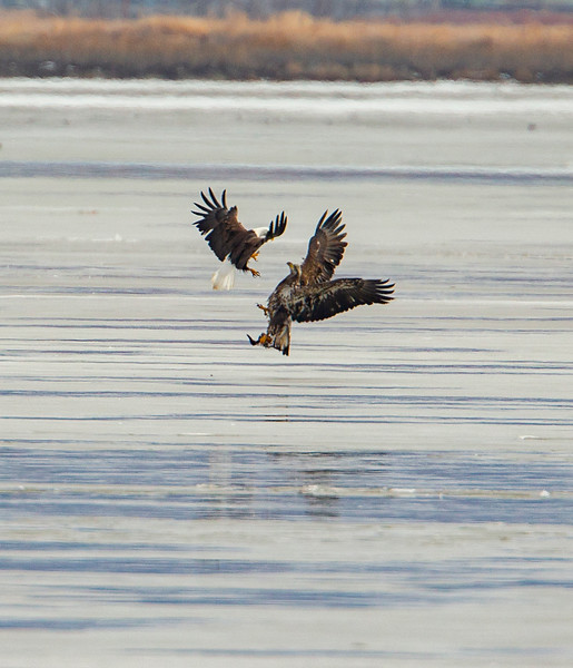 The older eagle trying to intimidate the juvenile causing him to drop his duck