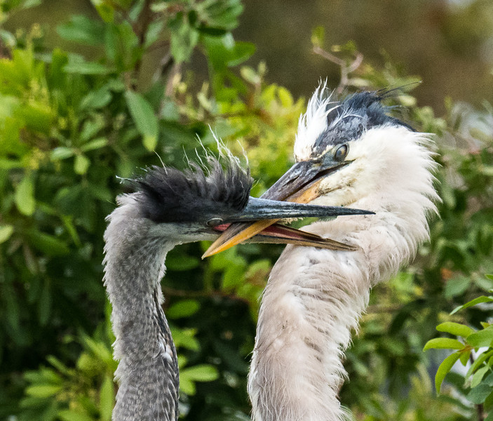 Great Blue Herons--positioning for feeding