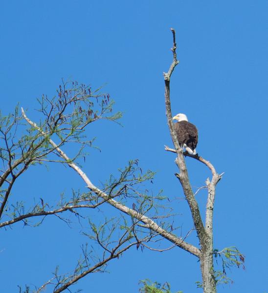 Bald Eagle (adult)