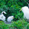 Great Egrets--juvenile testing wings