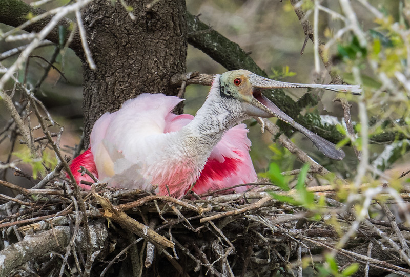 Roseate Spoonbill on nest