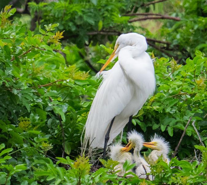 Great Egrets--triplets
