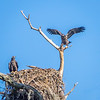 Bald Eagles (juveniles)