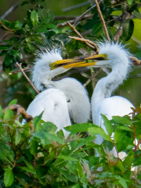 Great Egret chicks duking it out